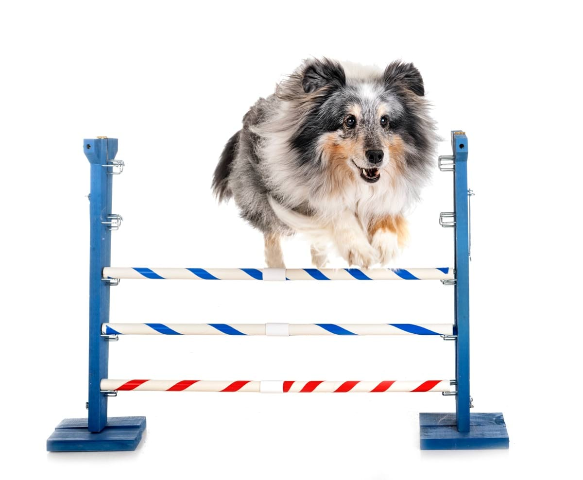 agility-and-little-dog-F38AS4W.jpg